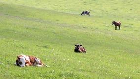 Vieh auf Weide stock footage