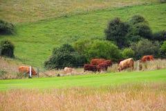 Vieh, das auf Ackerland weiden lässt Stockfotografie