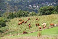 Vieh, das auf Ackerland weiden lässt Lizenzfreies Stockbild