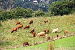 Vieh, das auf Ackerland weiden lässt Stockbilder
