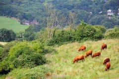 Vieh, das auf Ackerland weiden lässt Stockfotos