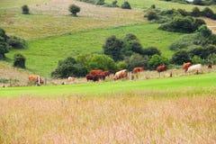 Vieh, das auf Ackerland weiden lässt Stockfoto