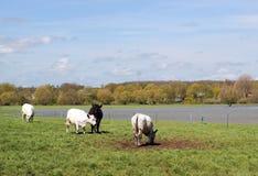 Vieh, das auf dem überschwemmten Gebiet weiden lässt. Stockfotografie