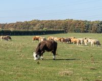 Vieh, das auf dem Gebiet bei Ingleby Derbyshire weiden lässt lizenzfreie stockbilder