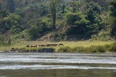 Vieh, das auf den Banken des Flusses weiden lässt Lizenzfreie Stockbilder