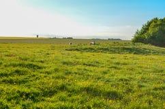 Vieh, das auf einem grünen Gebiet an einem heißen Sommertag sich entspannt Lizenzfreie Stockbilder