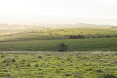 Vieh, das auf gelegentlichem Ackerland in der Fleurieu-Halbinsel, Sou weiden lässt Lizenzfreie Stockfotografie