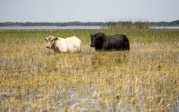 Vieh, das in den Florida Seen weiden lässt Stockfotos