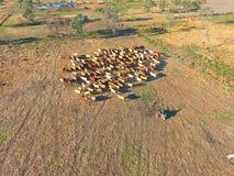 Vieh, das in den Hinterländern versammelt Stockfotos