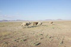Vieh in der Wüste Lizenzfreie Stockfotografie