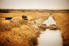 Vieh, das im Wasser abkühlt lizenzfreie stockbilder