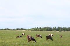 Vieh, das im Yard des Bauernhofes weiden lässt Stockbilder