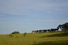 Vieh, das Landschaft mit Naturhintergrund aufpasst Stockfotos