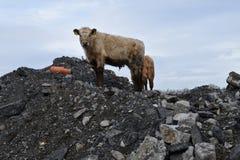 Vieh, das lokales Dumpyard - Nahaufnahme erforscht Stockbild