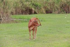 Vieh, das Ranch einzieht Lizenzfreie Stockfotografie