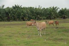 Vieh, das Ranch einzieht Lizenzfreies Stockfoto