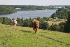 Vieh in dem See Lizenzfreies Stockfoto