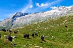 Vieh in den Alpen Lizenzfreie Stockfotos