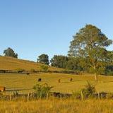 Vieh in den chilenischen Anden-Bergen Stockbild