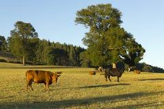 Vieh in den chilenischen Anden-Bergen Lizenzfreie Stockfotos