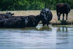 Vieh an der Wasserstelle lizenzfreies stockfoto