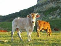 Vieh in der Wiese lizenzfreies stockbild