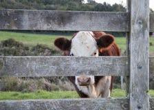 Vieh durch Tor lizenzfreie stockfotos