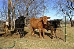 Vieh in einer behelfsmäßigen Weide Stockbild