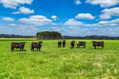 Vieh in einer Weide lizenzfreie stockfotografie