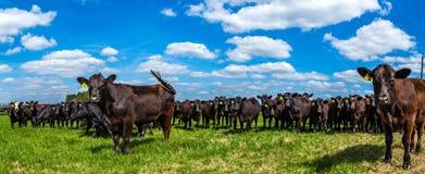 Vieh in einer Weide lizenzfreie stockfotos