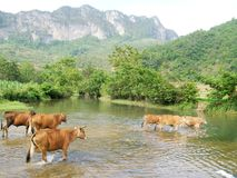 Vieh im Fluss stockbilder