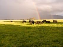 Vieh im Regen Stockbilder
