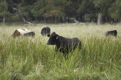 Vieh im Sumpfgebiet Stockfotografie