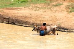 Vieh interessiert sich - waschendes Tier, um Hitze zu schlagen Stockfoto