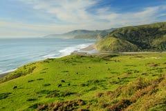 Vieh lässt auf schönen Ozeanfrontfeldern weiden Stockfotos