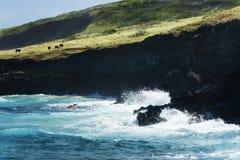 Vieh lässt auf schwarzem Klippenrand in Hawaii weiden Stockfotografie