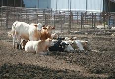 Vieh-Lot stockfoto