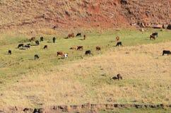 Vieh-Mit Gras bedecken Stockbilder
