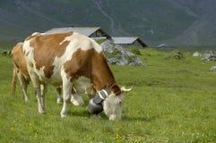 Vieh mit Kuh Bell in den Alpen Stockfotos
