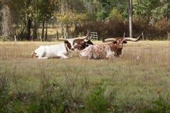 Vieh mit langen Hupen Stockfotografie