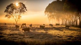 Vieh morgens Lizenzfreie Stockfotos
