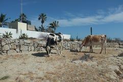 Vieh nähert sich Strand Stockfotos