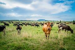 Vieh in Neuseeland stockbild
