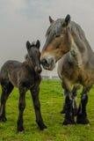 Vieh - niederländisches Entwurfs-Pferd Stockbilder