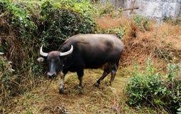 Vieh; Ochse; ein Familienname; moggy; MOOkuh stockbilder