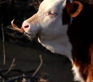 Vieh; Ochse; ein Familienname; moggy; MOOkuh stockfotos