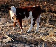 Vieh; Ochse; ein Familienname; moggy; MOOkuh lizenzfreies stockbild