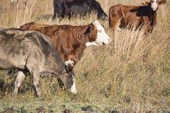 Vieh-Ranch Lizenzfreies Stockbild