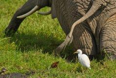 Vieh-Reiher und Elefant in der Zusammenarbeit Lizenzfreies Stockfoto