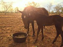 Vieh stationiert, Nordwest-Queensland Stockfotos